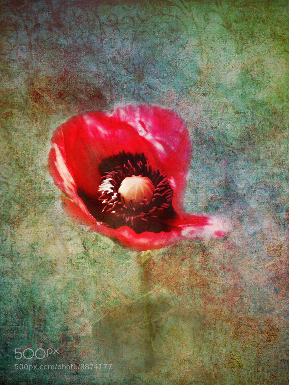 Photograph Poppy by David Asch on 500px