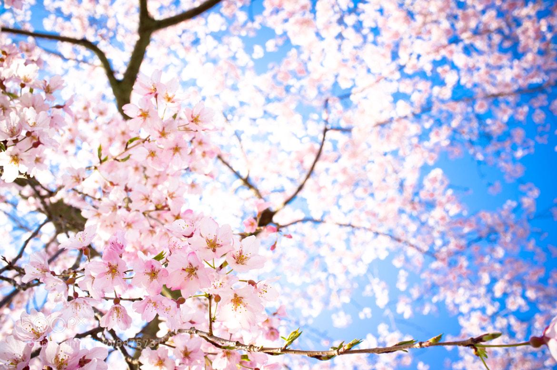 Photograph sakura '12 - cherry blossoms #2 by Marser  on 500px