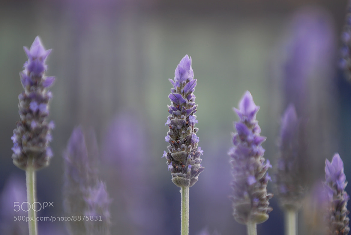 Photograph Lavender #2 by Gilles Royer on 500px