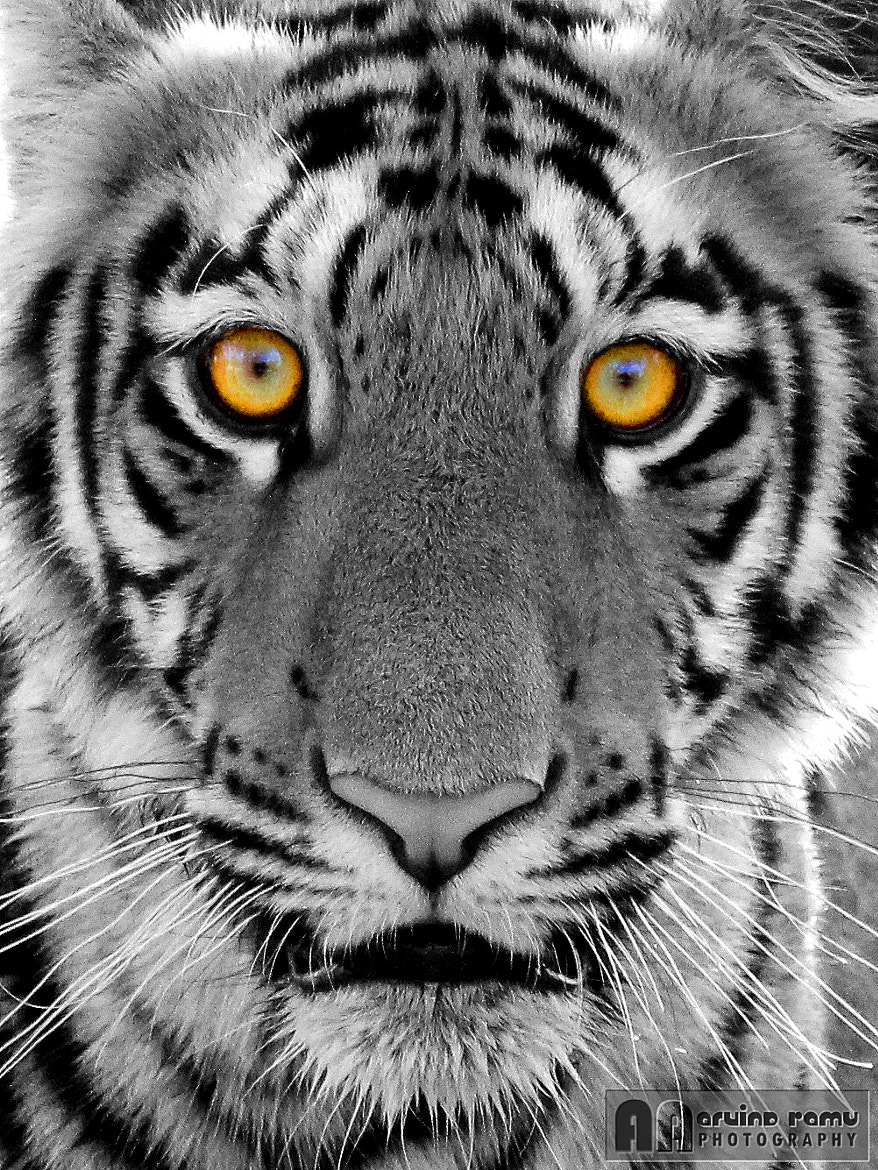Photograph Eye of the Tiger by Arvind R on 500px