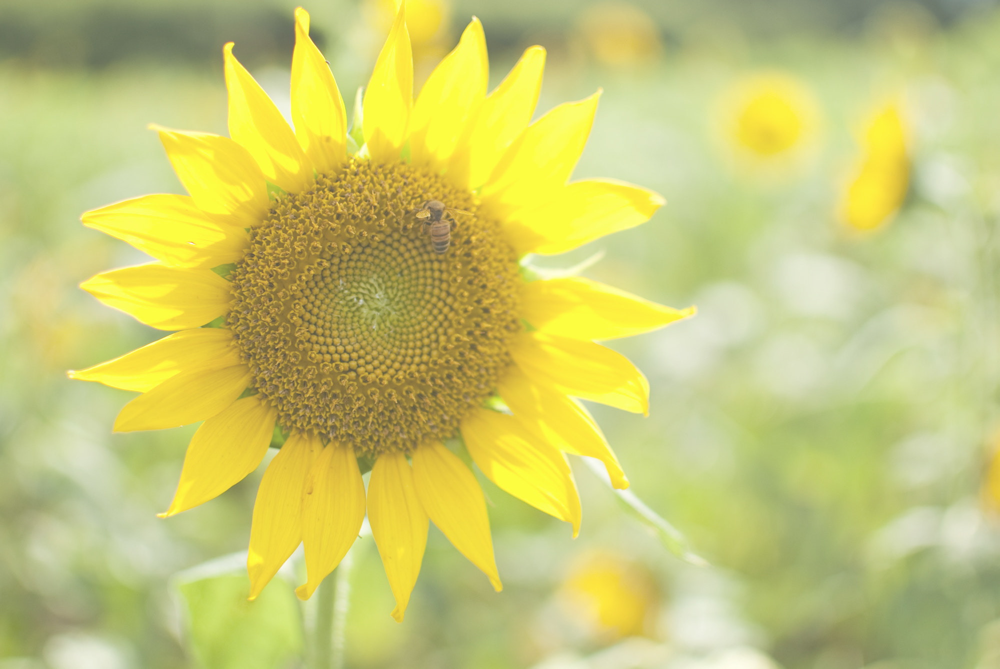Photograph Sunflower and bee 2 by 蔻可 吳 on 500px