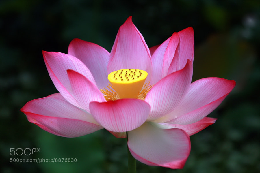 Photograph  lotus blossom by giseong Na on 500px