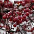 Постер, плакат: Crab apples