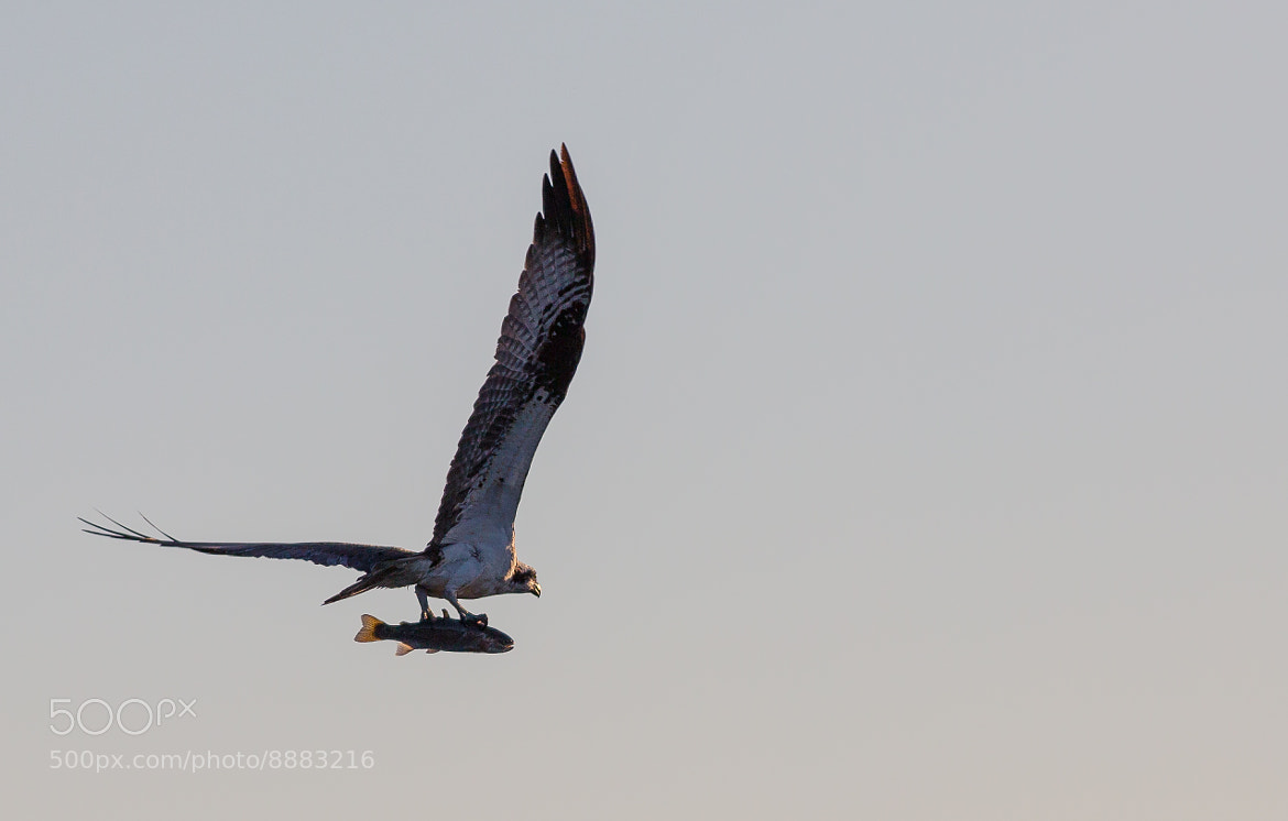Photograph Osprey with Fish by Patrick Latter on 500px