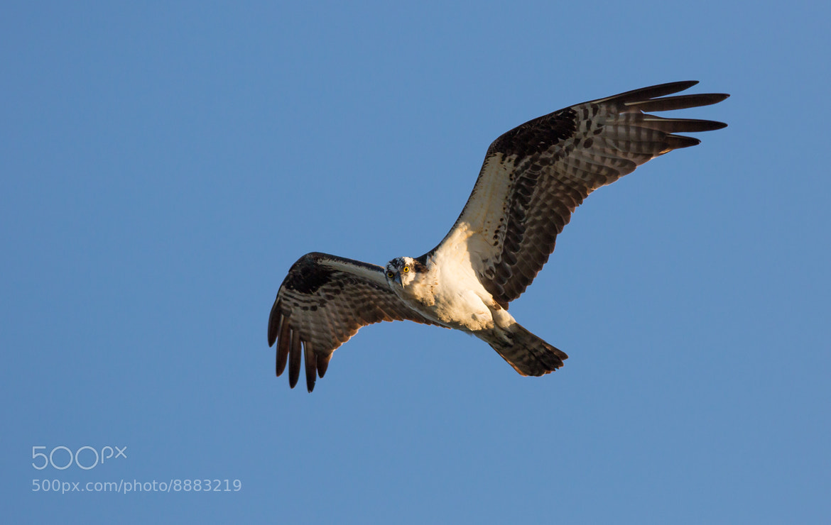 Photograph Osprey by Patrick Latter on 500px