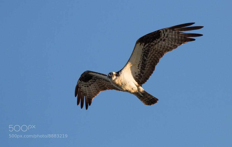 Photograph Osprey by Patrick Latter on 500px