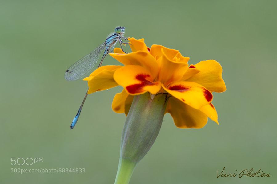dragonfly f