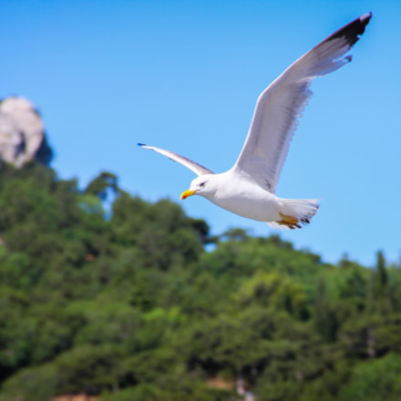 A gull