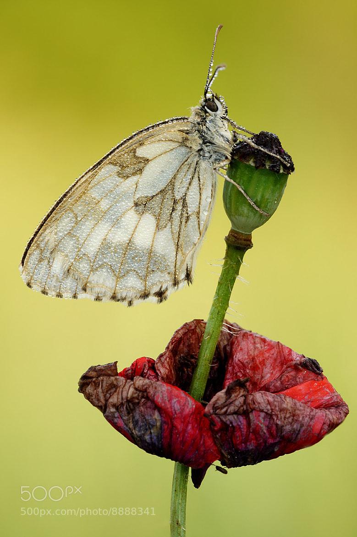 Photograph Makowa panienka  by Krzysztof Sprenger on 500px