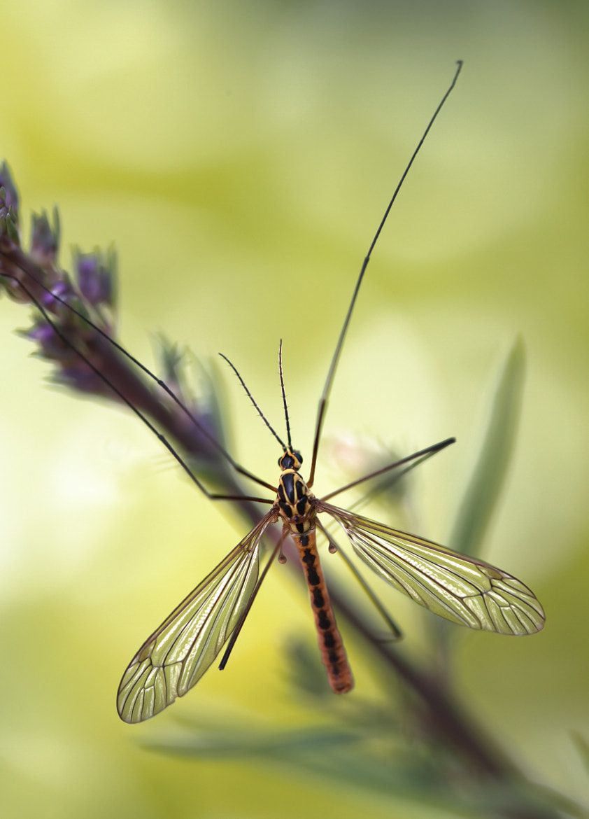 Photograph Crane fly by Mandy Disher on 500px