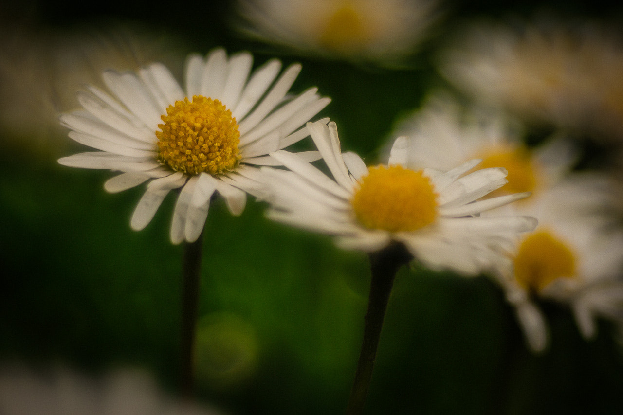 Photograph Screaming Daisies by Henrik Fessler on 500px