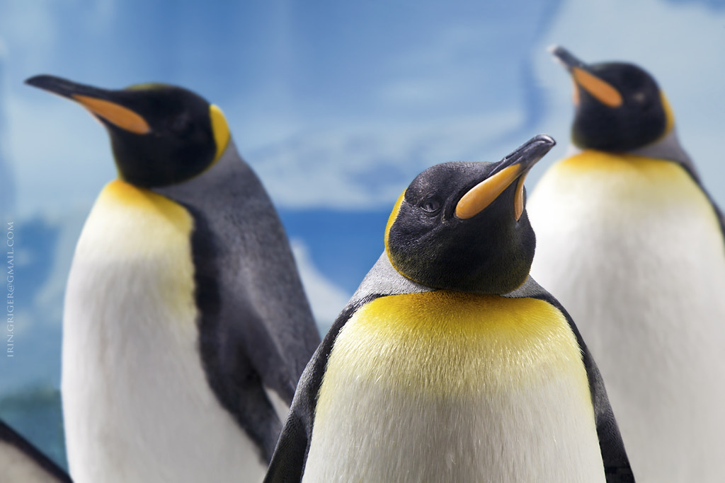 Photograph Penguins by Iren Jacobson on 500px