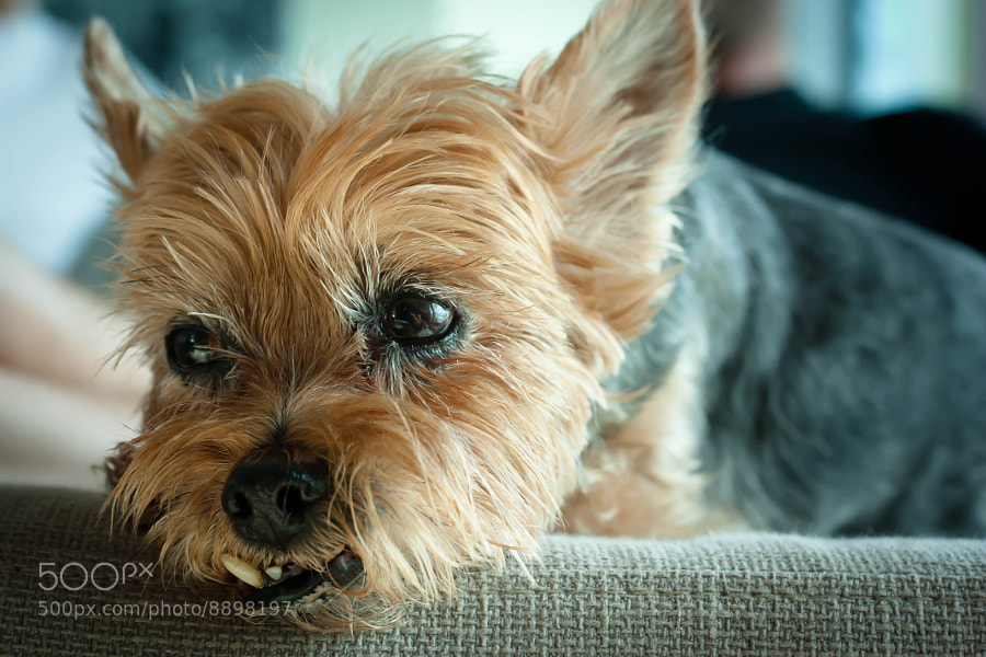 Photograph Snaggle Toof by Beth Blackwell on 500px