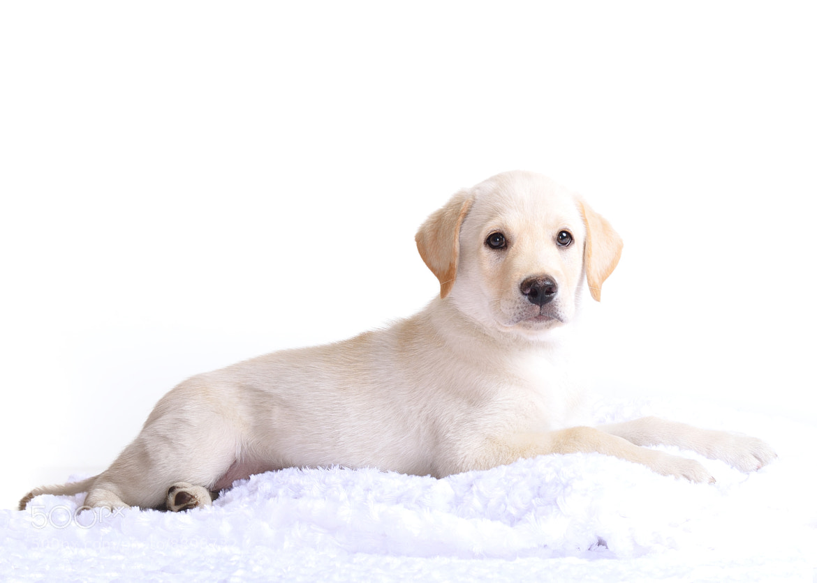 Photograph High Key Puppy by Chad  on 500px