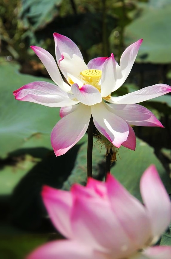 Photograph lotus by Khoi DO on 500px