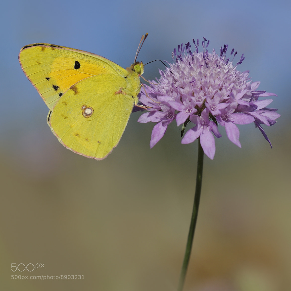 Photograph Colias chrysotheme by mauro maione on 500px