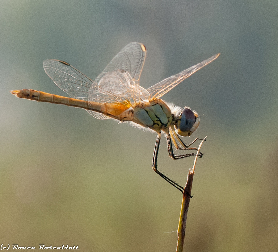 Dragonfly at Sunrise