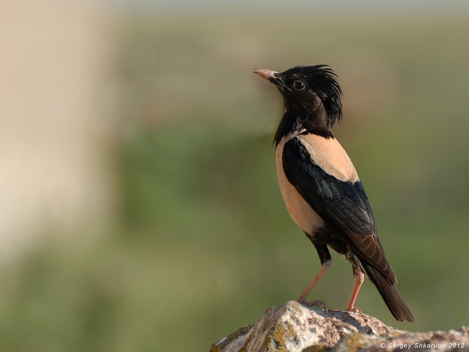 Photograph Rosy Starling by Sergey Shkarupo on 500px