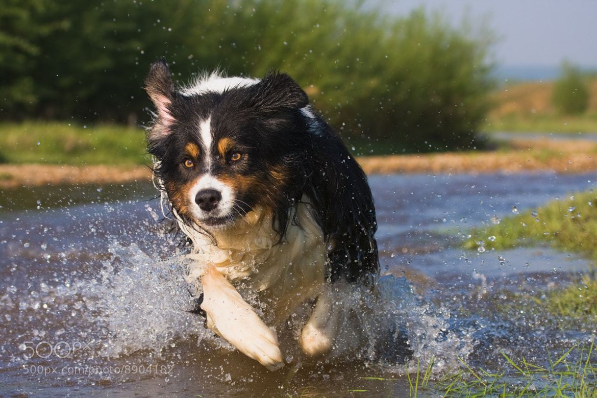 Photograph Australian Sheperd in action by Christian Müller on 500px