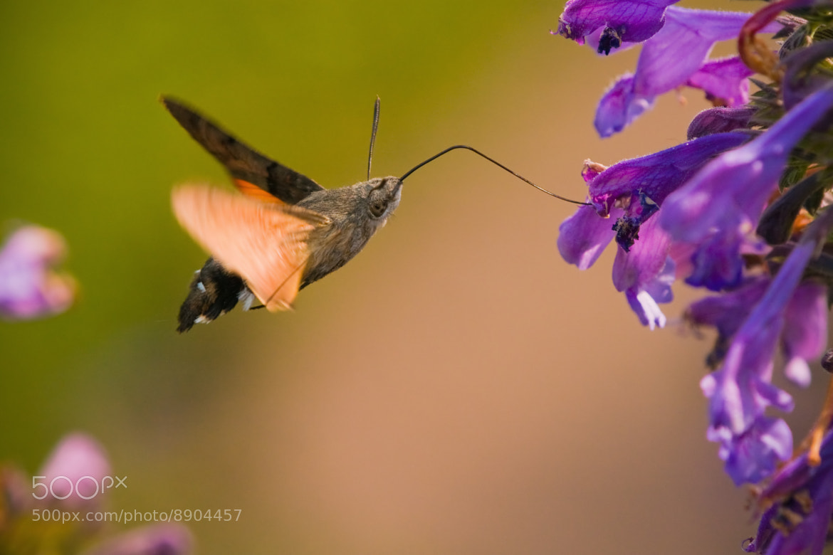 Photograph hummingbird hawkmoth by Christian Müller on 500px