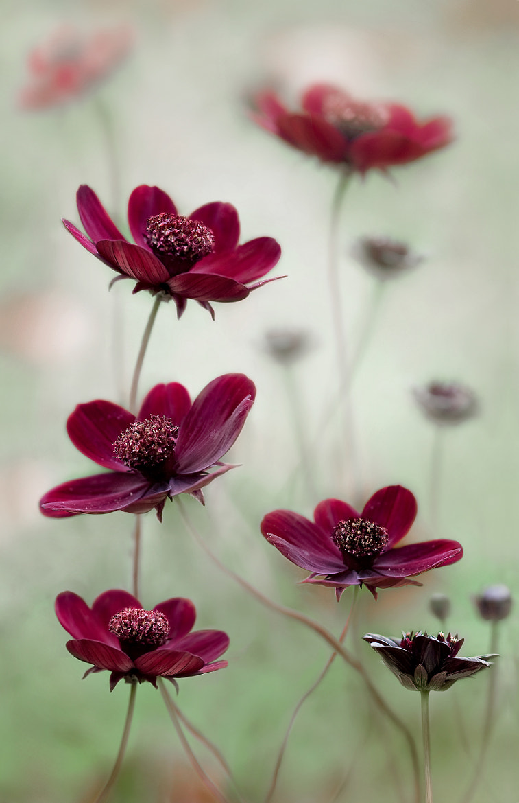 Photograph Cosmos sway by Mandy Disher on 500px