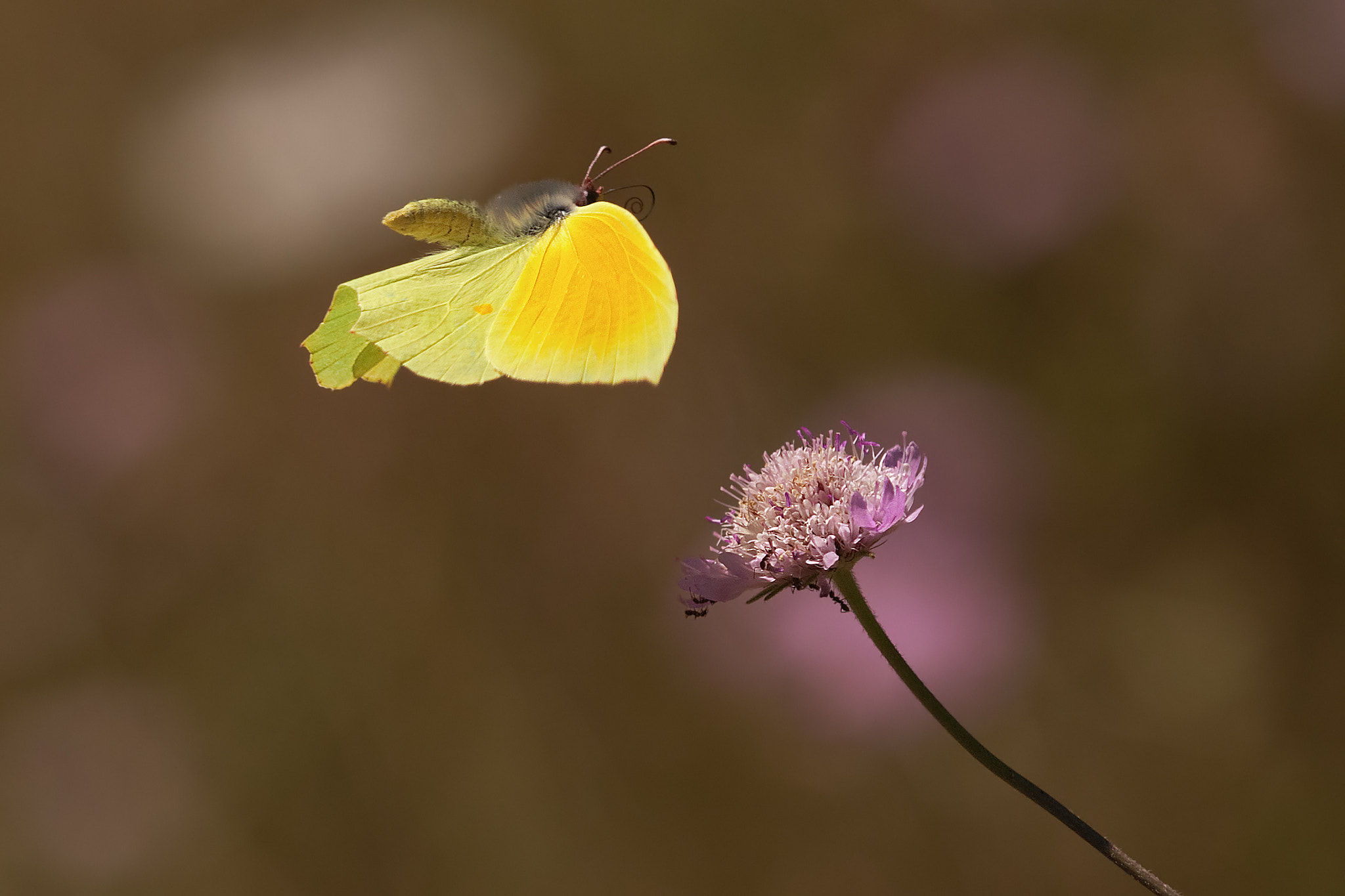 Photograph Cleopatra butterfly in flight by Christian Müller on 500px