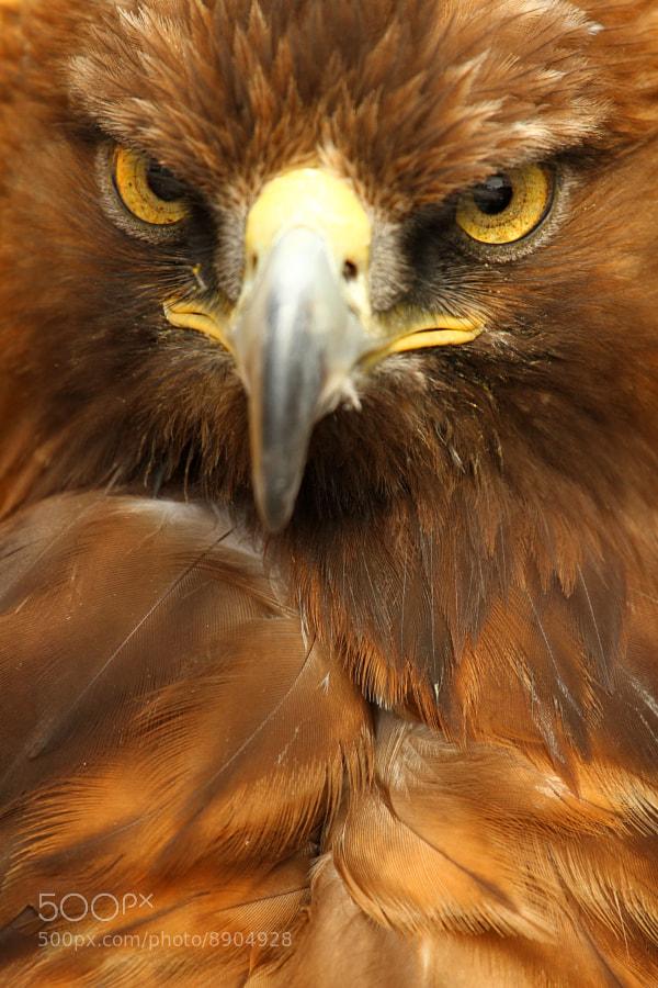 Closeup photograph of golden eagle