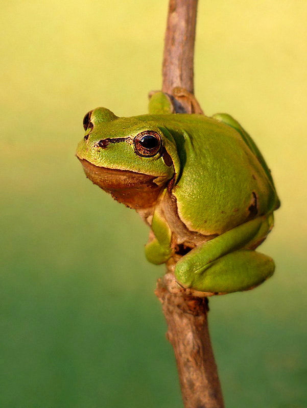 Photograph Go go Frog by istvan froghunter on 500px