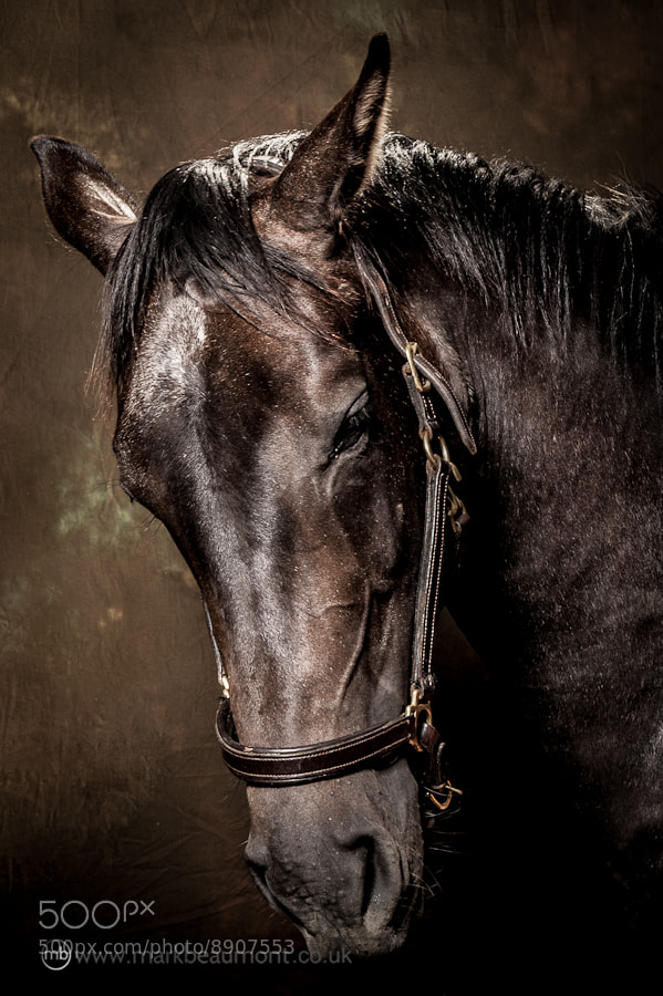 Photograph Equine Portrait by Mark Beaumont on 500px