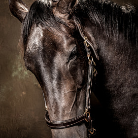 Equine Portrait by Mark Beaumont (MarkBeaumont)) on 500px.com