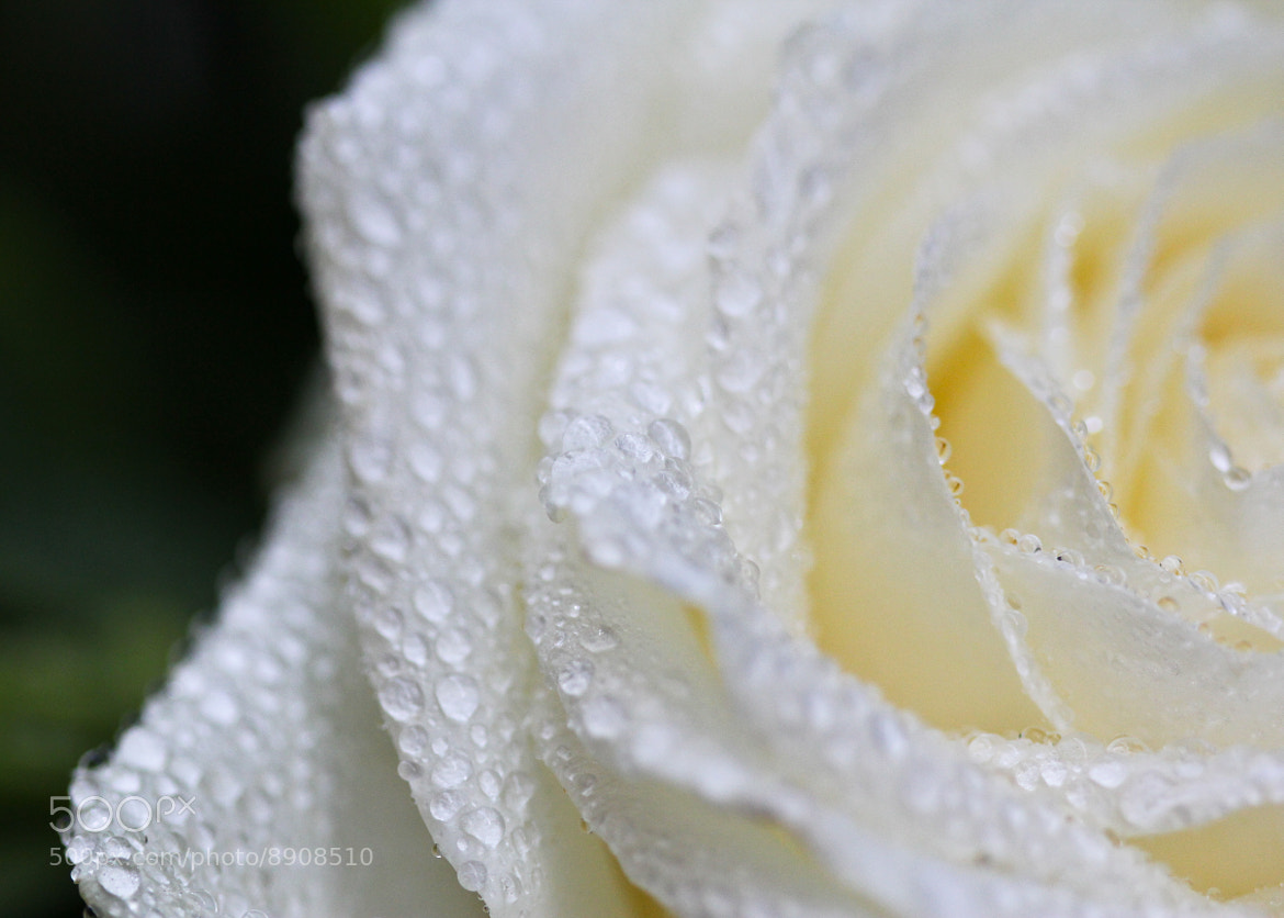 Photograph Droplets on a rose by Jessica Keating on 500px