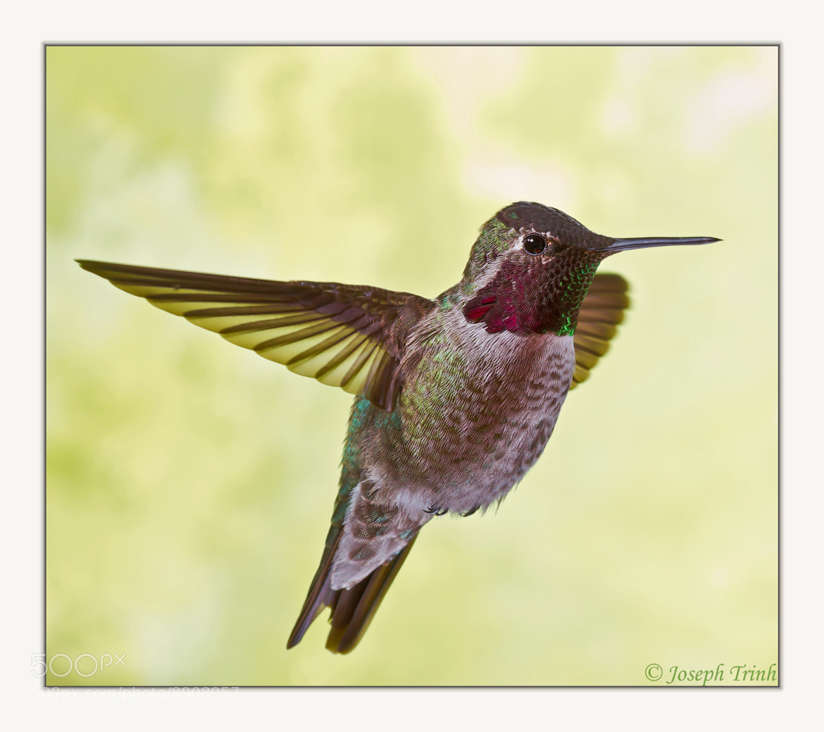 Photograph The Beauty Of Humming by Joseph Trinh on 500px