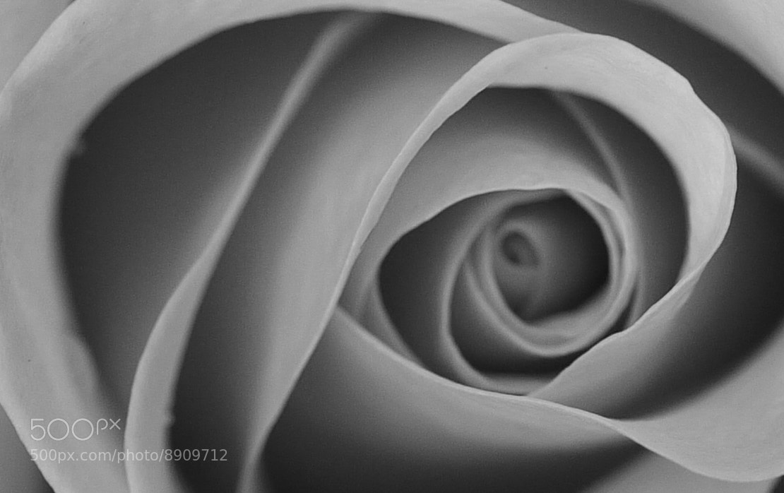 Photograph Mono Rose by Craig Beveridge on 500px