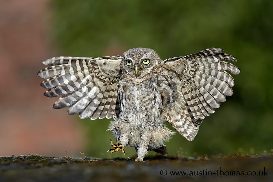 Do I walk, run, hop or fly? asks the baby Owl...