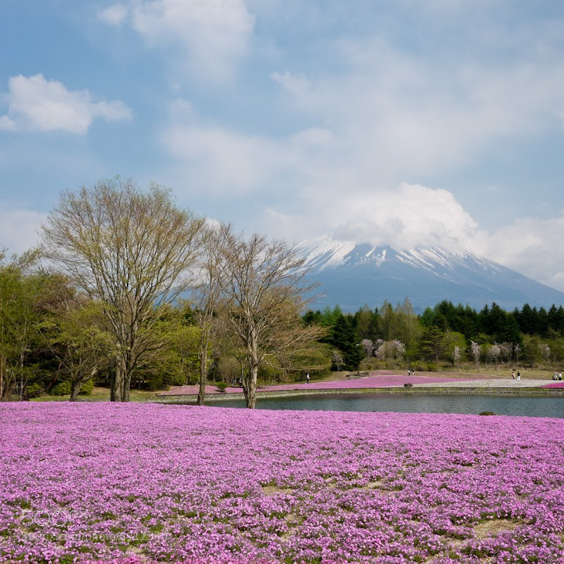Photograph Chiba-zakura & Mt.Fuji by Thongchan Thananate on 500px