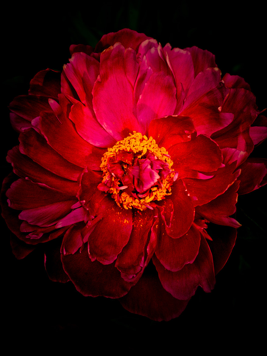 Photograph Peony by Hamish Grant on 500px
