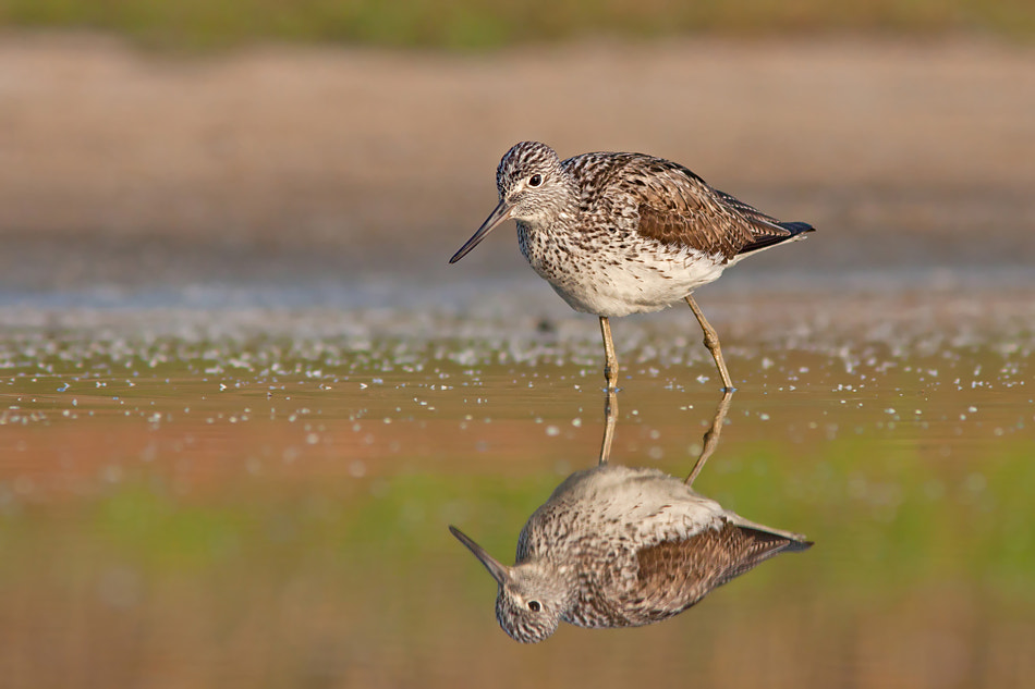 Photograph Common Greenshank  by Roy Avraham on 500px