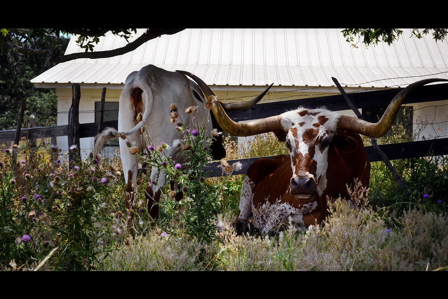 Photograph Longhorns by Joe Andrews on 500px