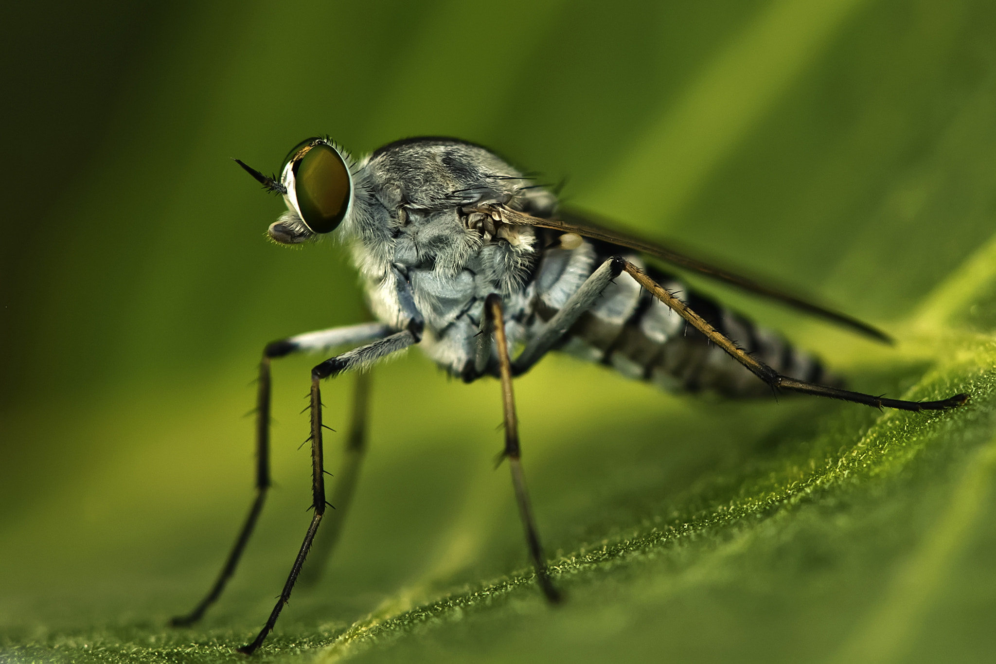 Photograph Robberfly by Nozer Kasad on 500px