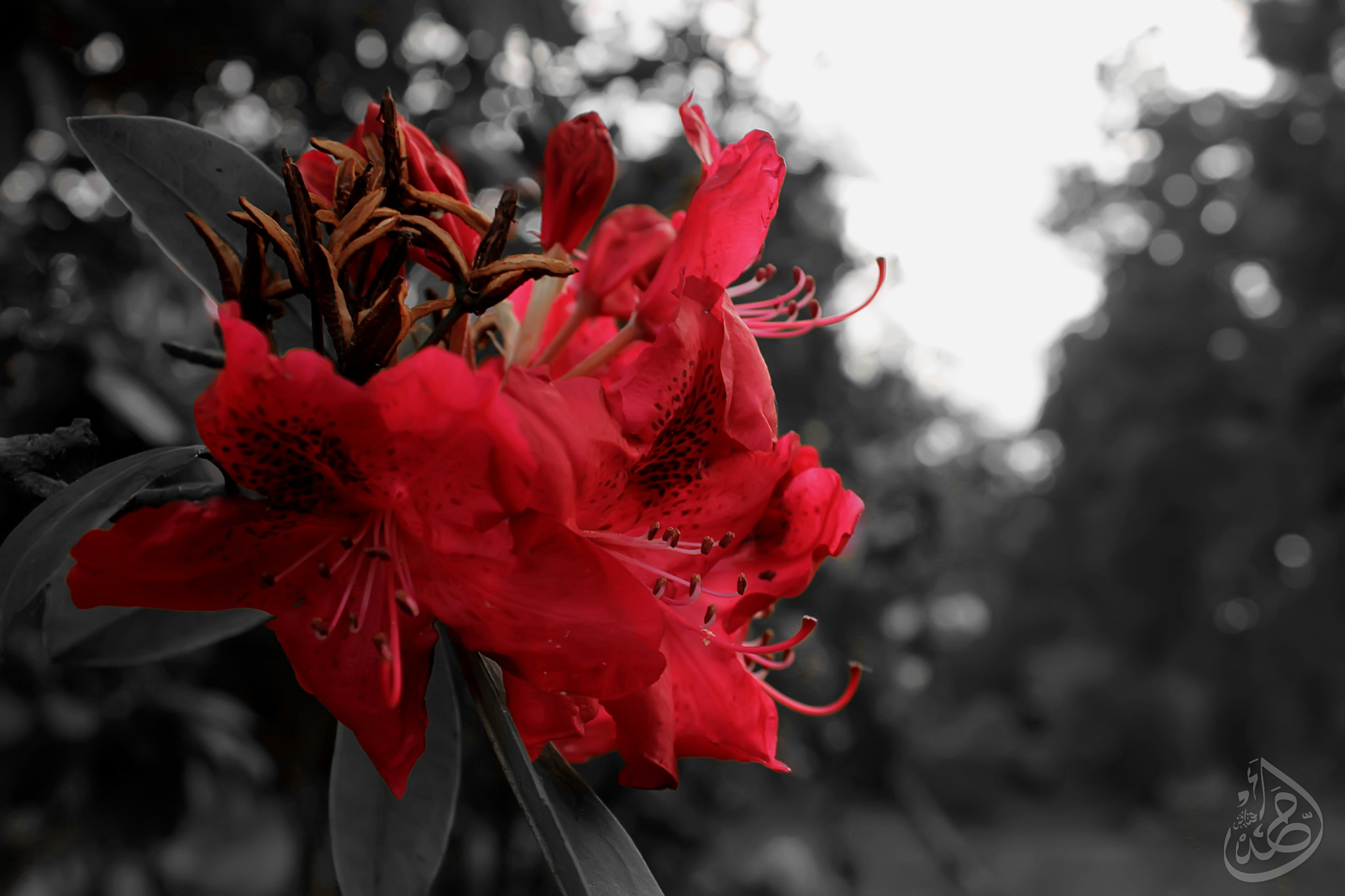 Photograph Red flower by Ahmed Fayadh on 500px