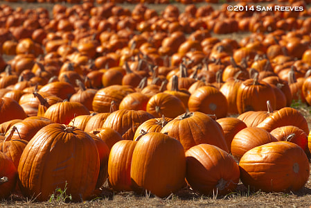 Many Pumpkins by Sam Reeves