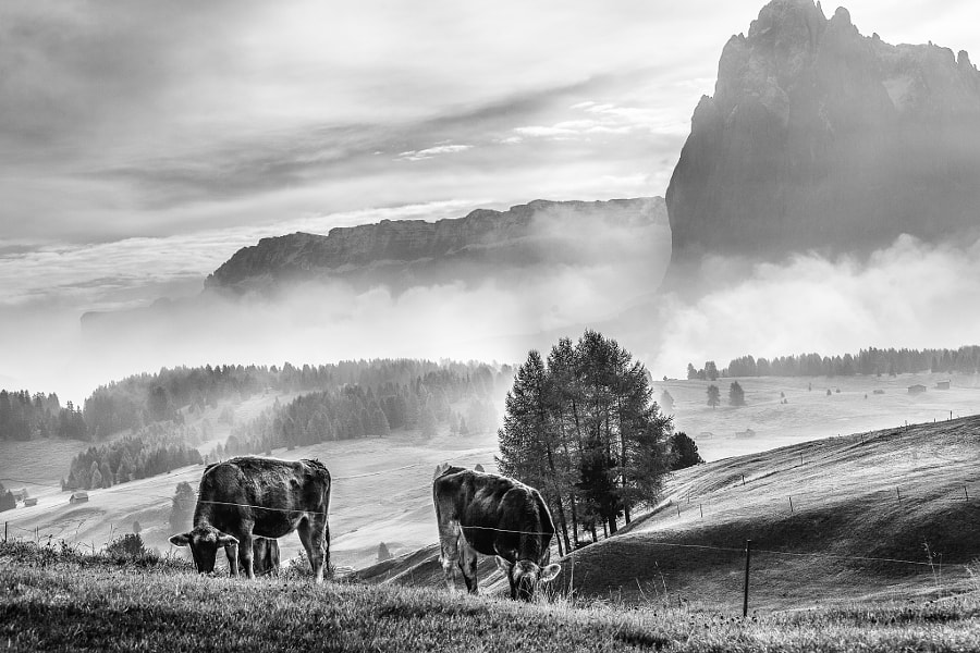 Cows in the Dolomites, Italy