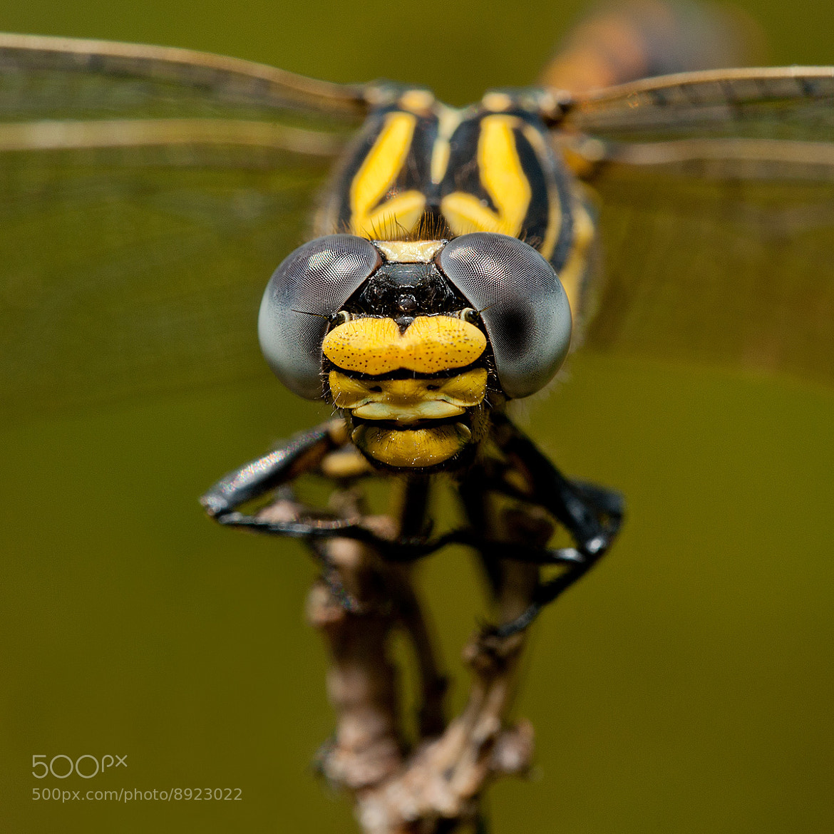 Photograph Onychogomphus Forcipatus by Claudio Rossi on 500px