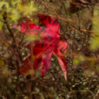 Постер, плакат: A red leaf in the bush