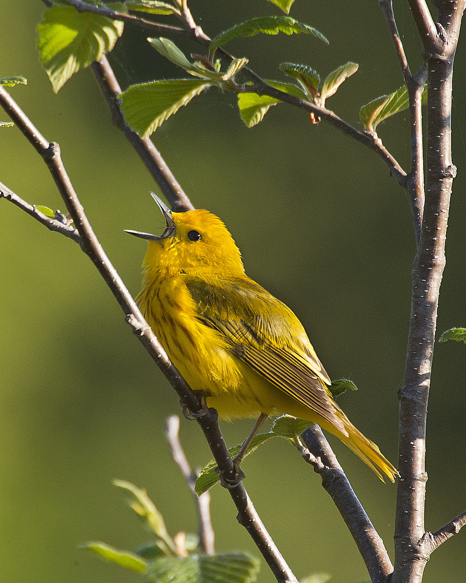 Photograph Yellow Warbler by Mitch Moraski on 500px