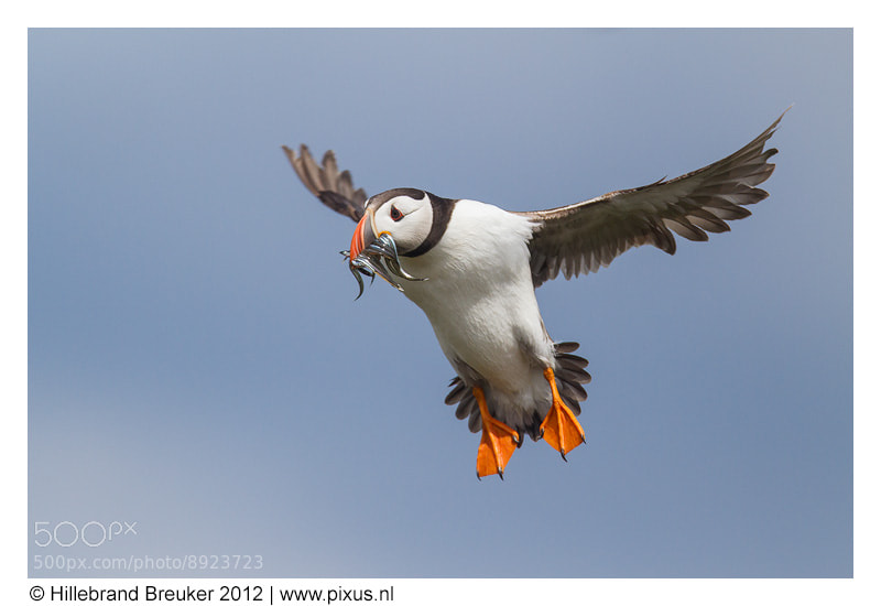 Photograph Puffin Mania! by Hillebrand Breuker on 500px