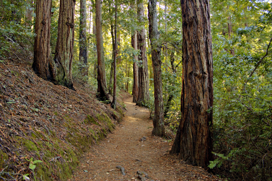 Trail Through the Redwoods by Luke Korth on 500px.com