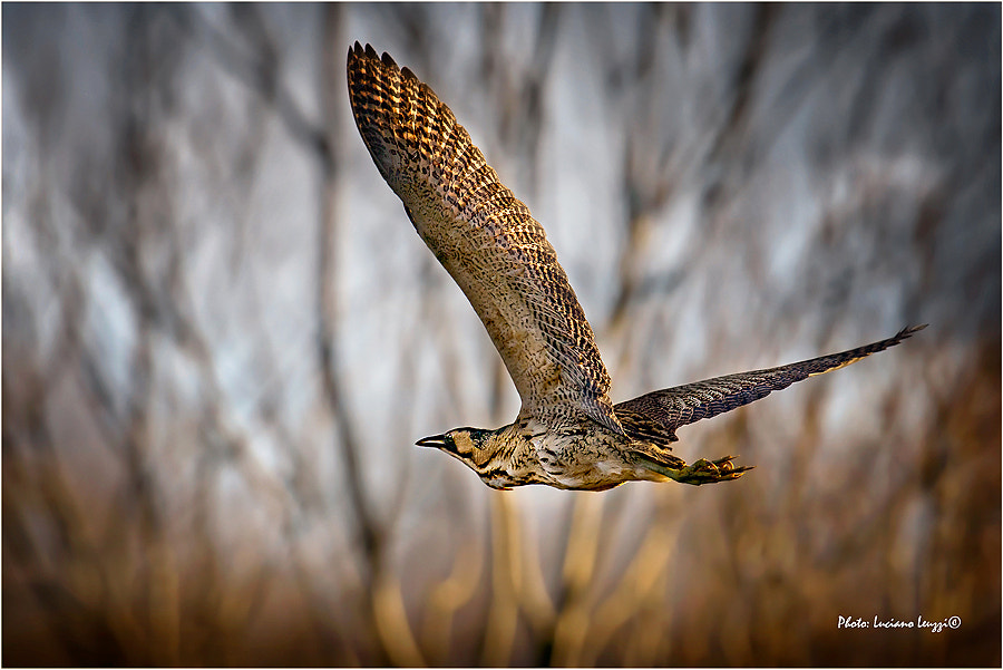 Photograph Bittern in flight ( Botaurus stellaris) by lucianoleuzzi on 500px