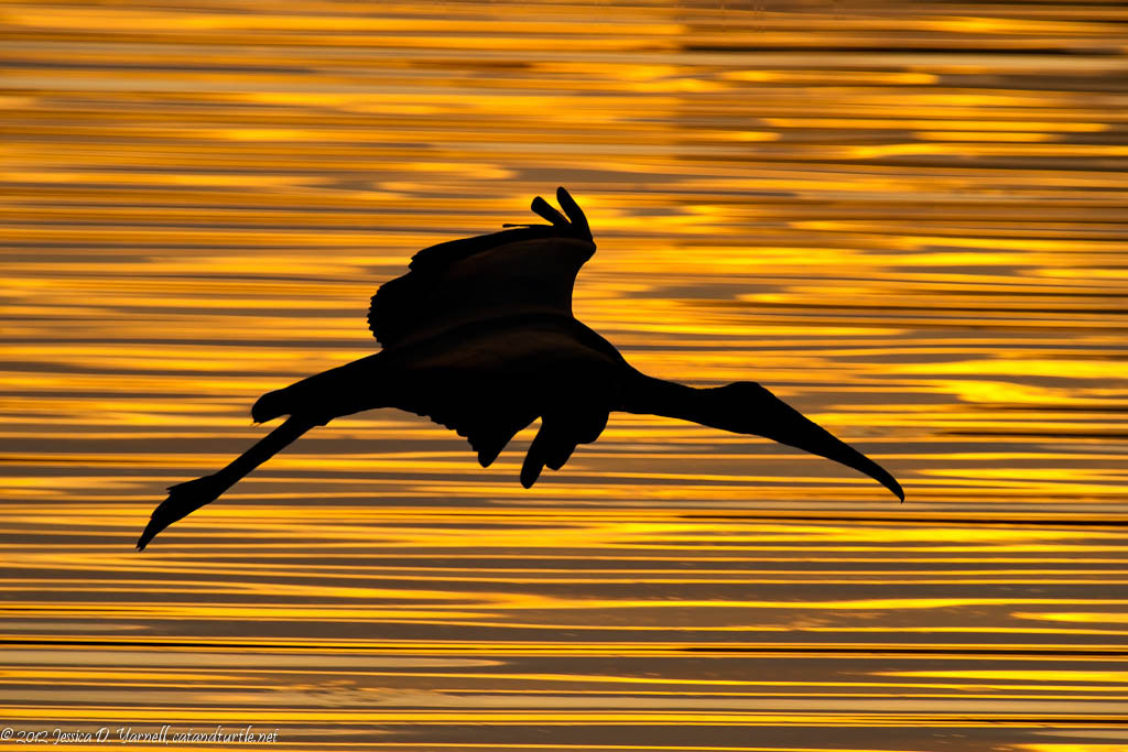 Photograph Wood Stork Sunset Silhouette by Jess Yarnell on 500px