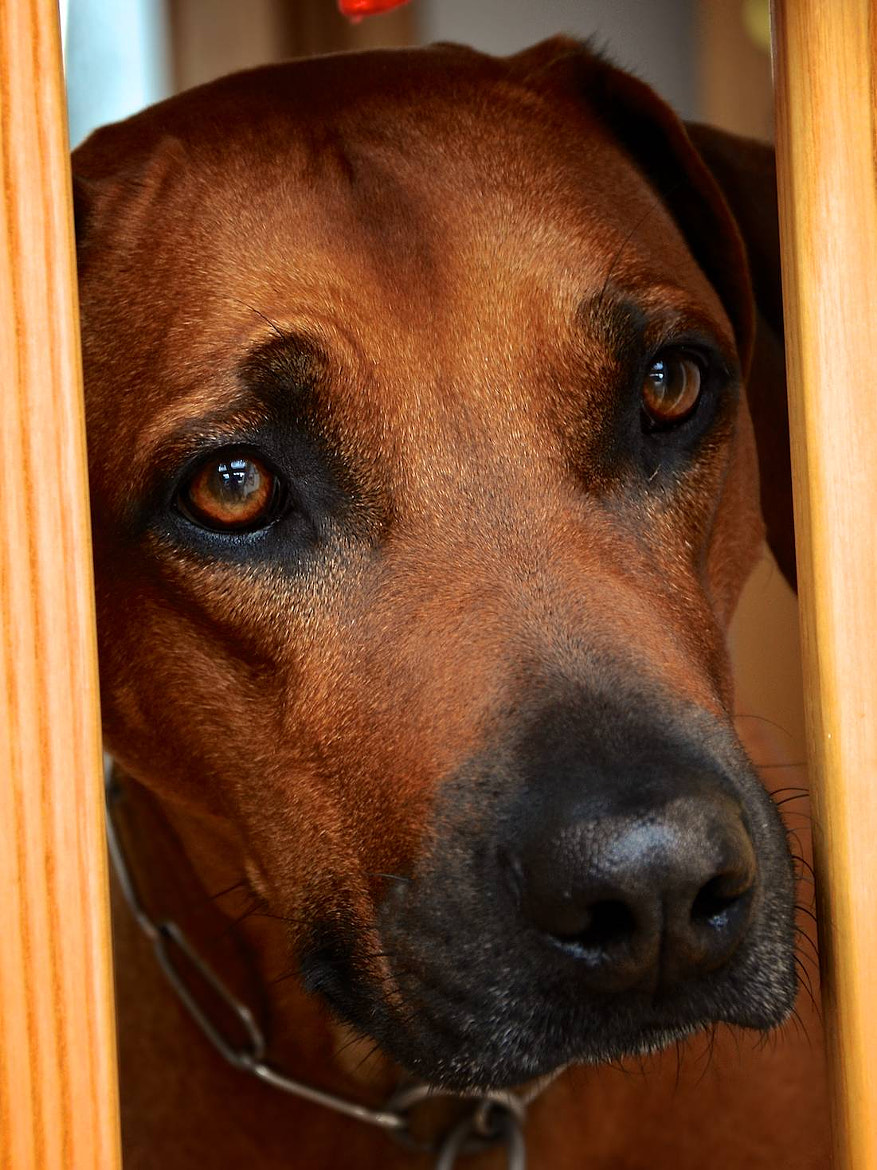 Photograph Ridgeback by Jojo Schlüter on 500px